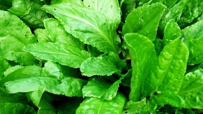 Что полезней шпинат или щавель?